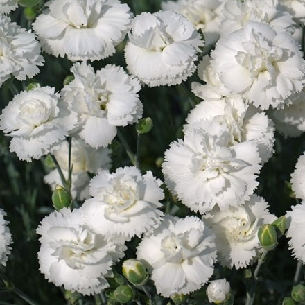 Dianthus Arctic Star TM ('DEVON ARTIC STAR') (PBR)