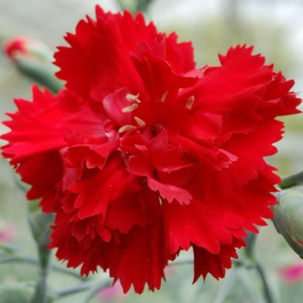 Dianthus Lady in Red ('WP04 XANTHE') (PBR)