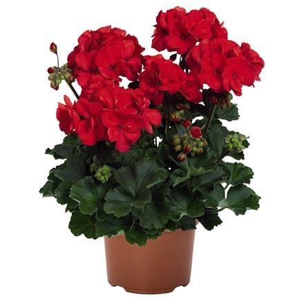 Geranium Savannah Red ('Dueferto') (PBR) (Savannah Series)
