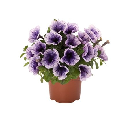 Petunia Potunia Blueberry Ice (Potunia Series)