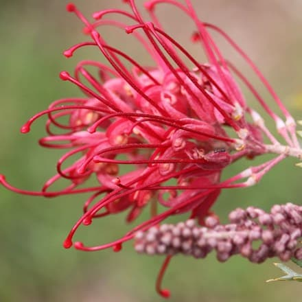 Grevillea robusta Red Salento