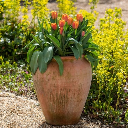 Terracotta tulip pot
