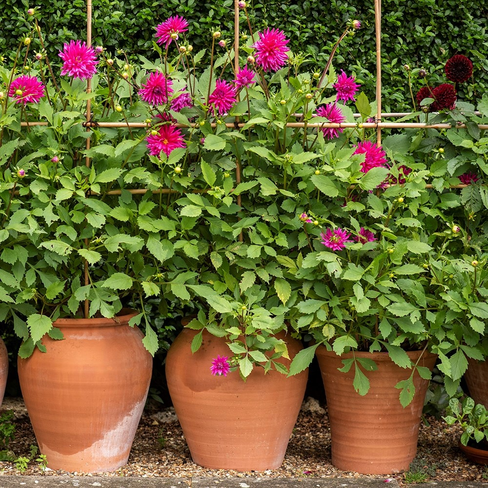 Terracotta tulip pot