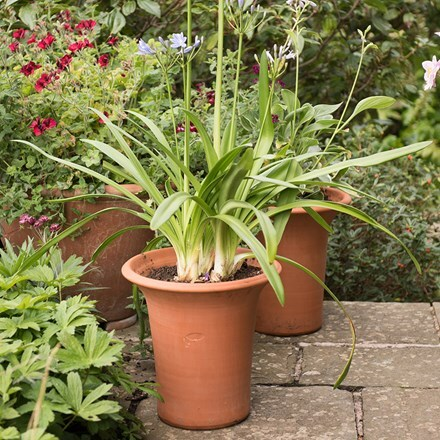 Terracotta flared rim pot