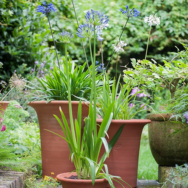 Terracotta flared rim pot