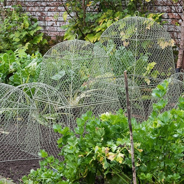 Buy Rabbit proof cloche extension: Delivery by Waitrose