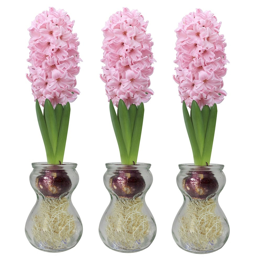 Buy Hyacinth Vase Delivery By Waitrose Garden In