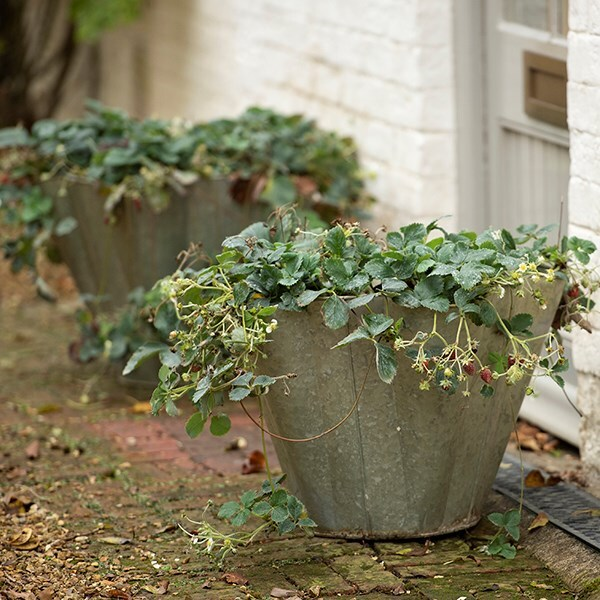 Galvanised strawberry planter