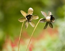 Daffodil flower stake