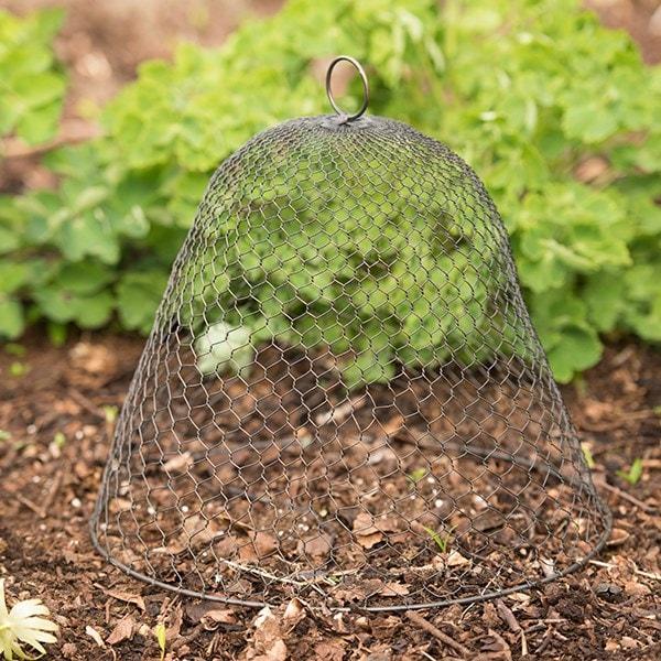 Buy Wire cloche - chicken wire: Delivery by Crocus