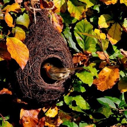 Giant roost robin nester