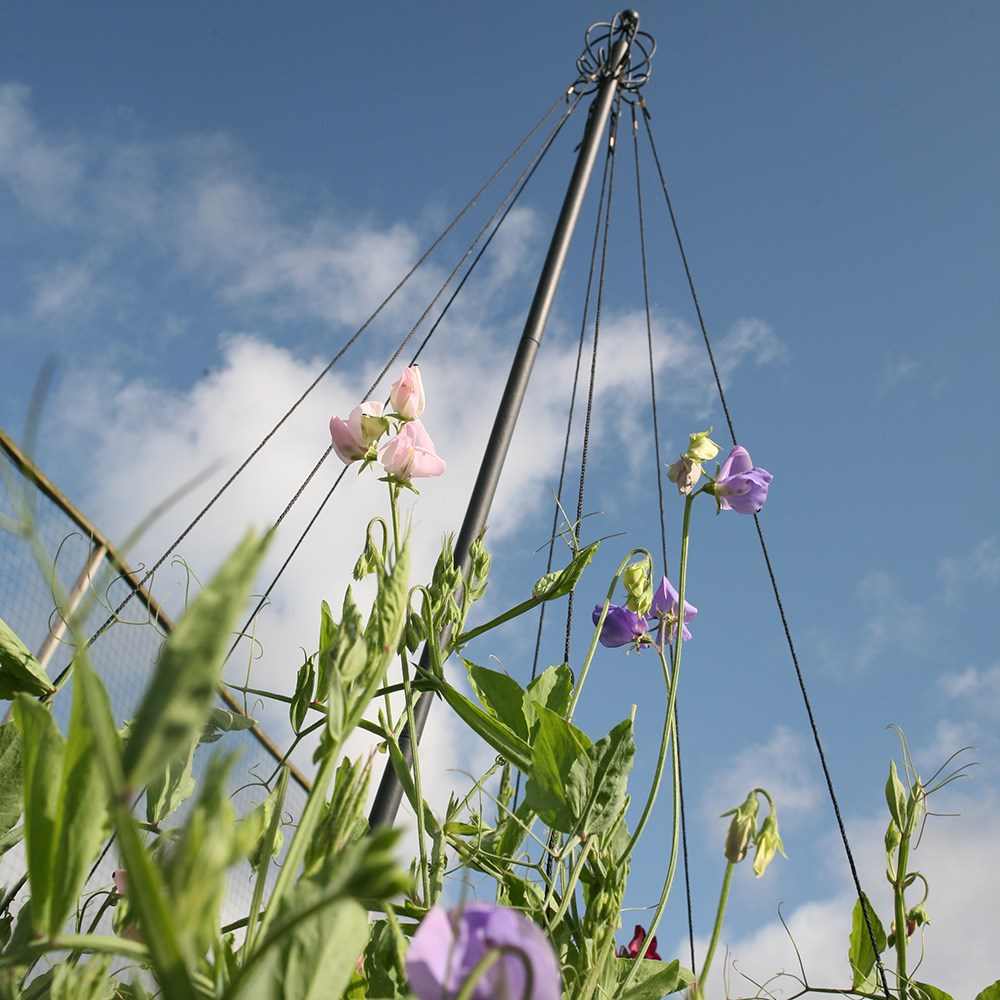 Buy Garden Maypole Plant Support Delivery By Crocus
