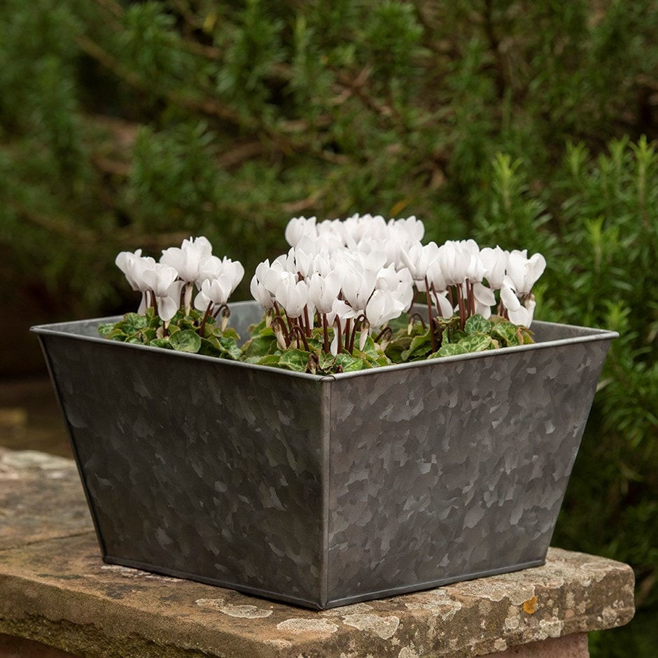 Dark galvanised square planter & Cyclamen hederifolium albiflorum