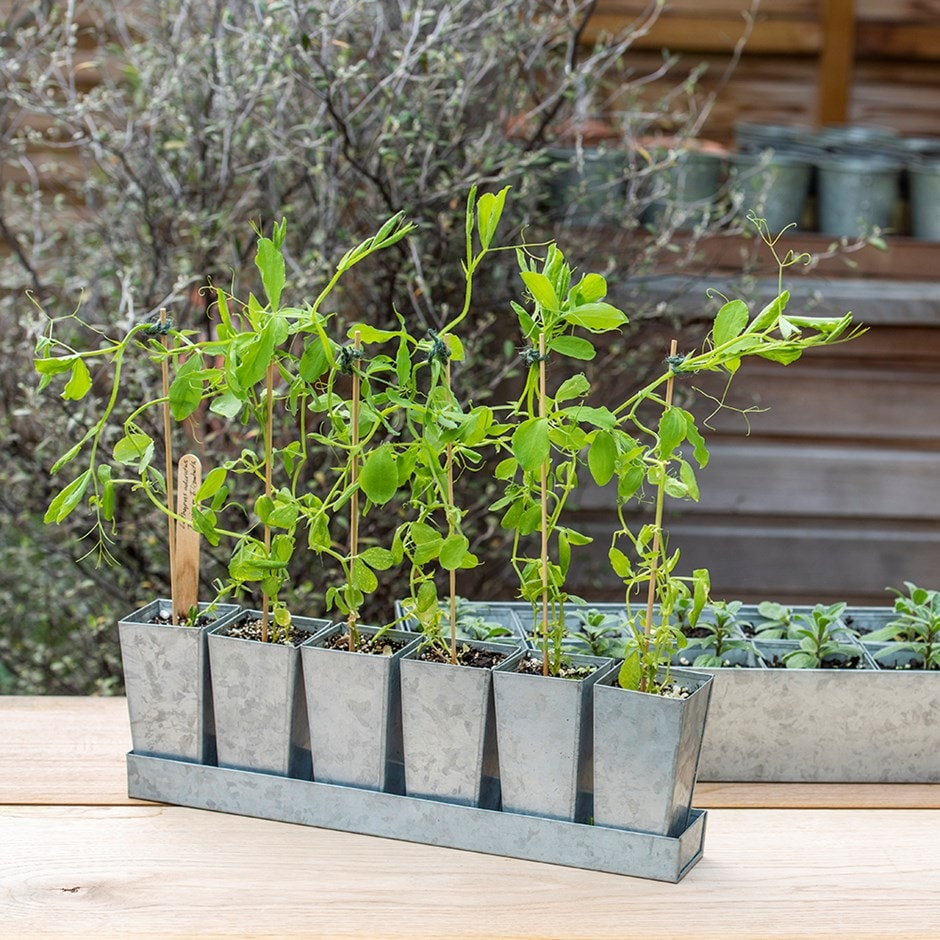 Galvanised tray with 6 tall root trainer pods