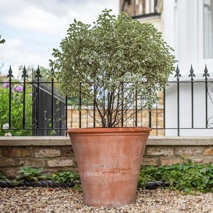 Terracotta shrub pot