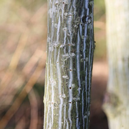 Acer davidii