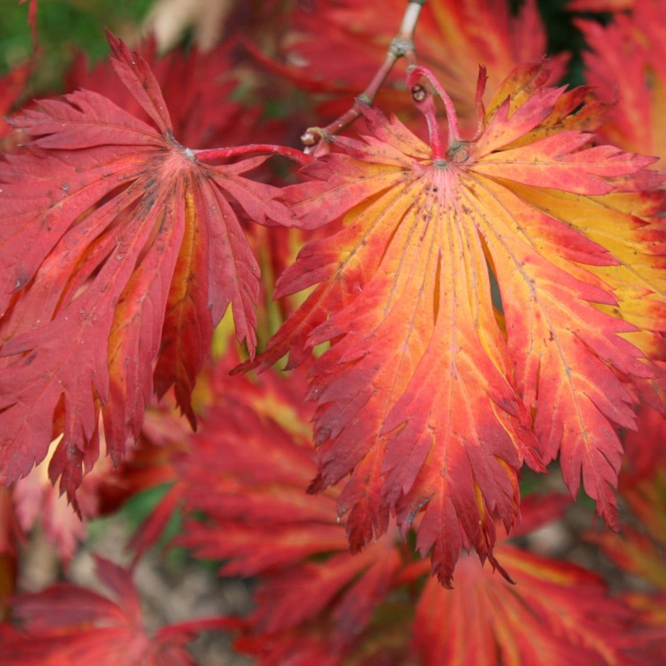 Buy Full Moon Maple Acer Japonicum Aconitifolium 2999 Delivery By