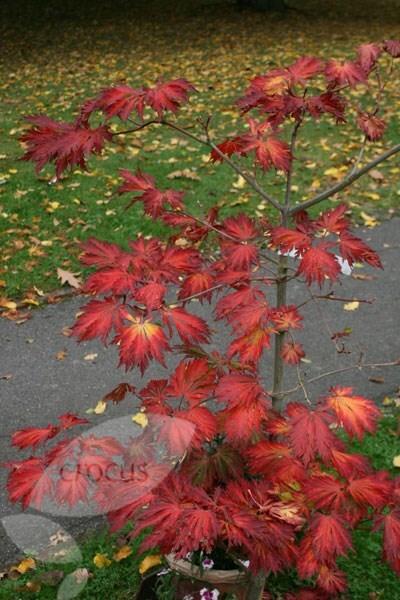 Buy Full Moon Maple Acer Japonicum Aconitifolium 163 23 99