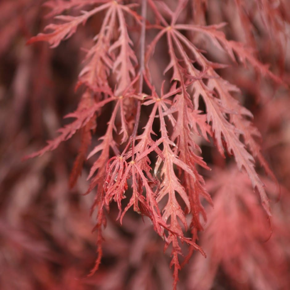 buy japanese maple acer palmatum garnet delivery by crocus. Black Bedroom Furniture Sets. Home Design Ideas