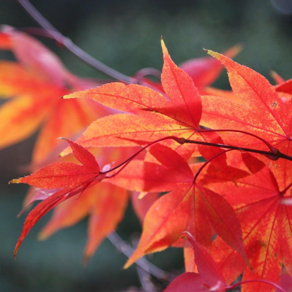 Buy Japanese Maple Acer Palmatum Osakazuki 2999 Delivery By Crocus