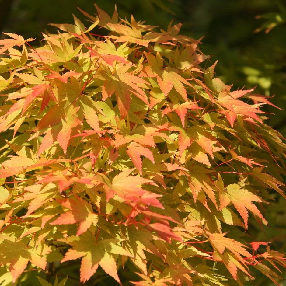 Buy Coral Bark Maple Syn Acer Senkaki Acer Palmatum Sango Kaku