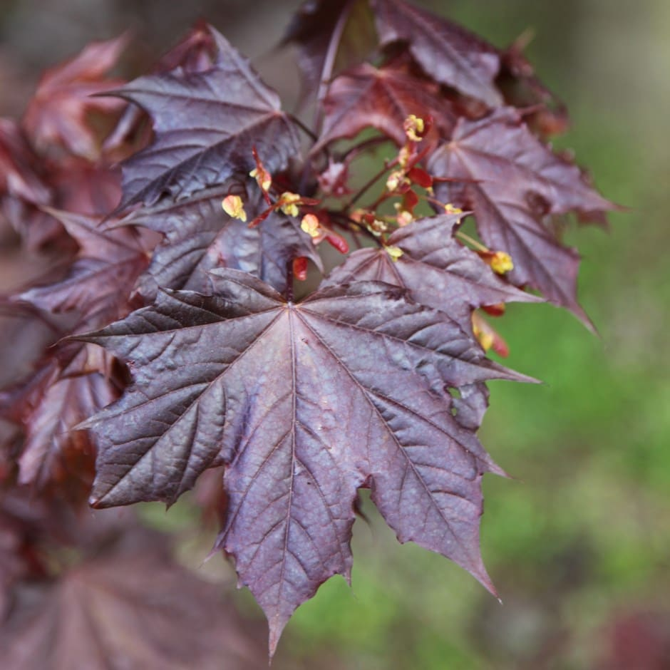 Buy Norway Maple Acer Platanoides Crimson King 7499 Delivery By
