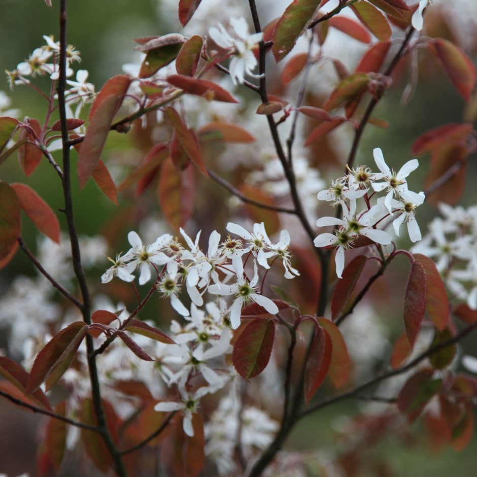 Buy June Berry Amelanchier Lamarckii 163 79 99 Delivery By