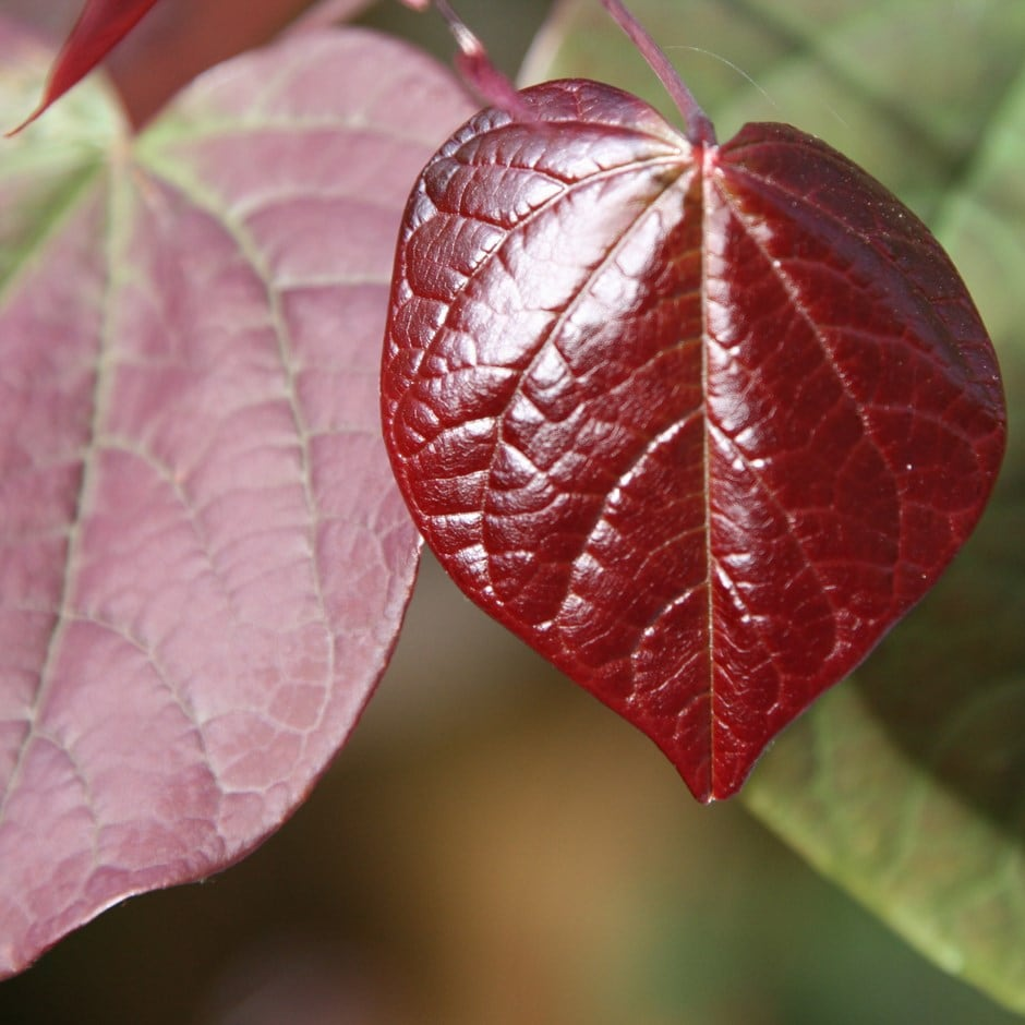 Buy American Redbud Cercis Canadensis Forest Pansy 163 39 99