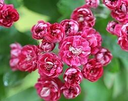 Crataegus laevigata Paul's Scarlet