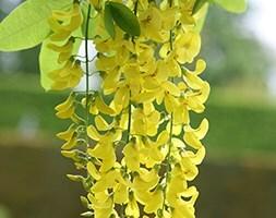 Laburnum × watereri Vossii
