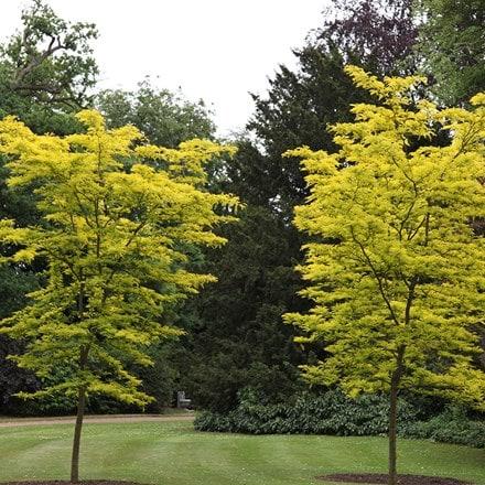 Gleditsia triacanthos f. inermis Sunburst
