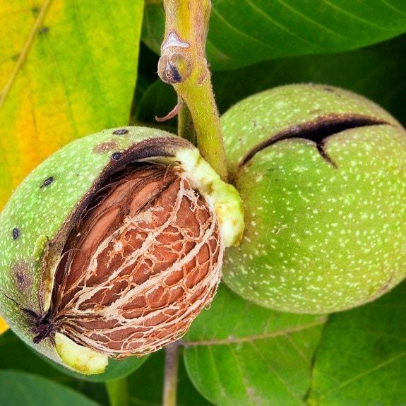 buy common walnut juglans regia delivery by crocus. Black Bedroom Furniture Sets. Home Design Ideas