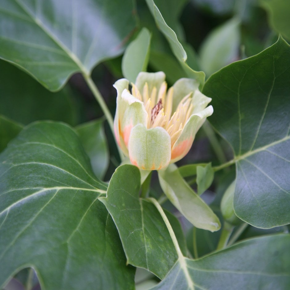 Buy Tulip Tree Liriodendron Tulipifera 7999 Delivery By Crocus