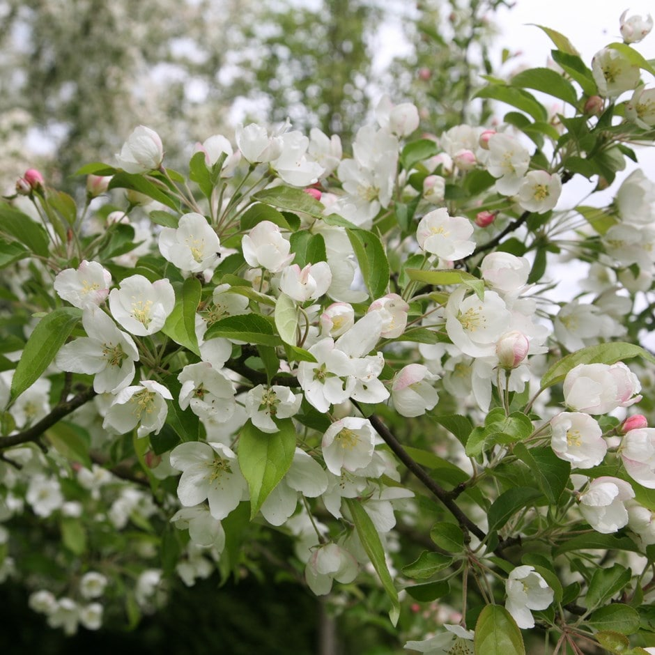 Buy Crab Apple Evereste Malus Evereste Delivery By Waitrose