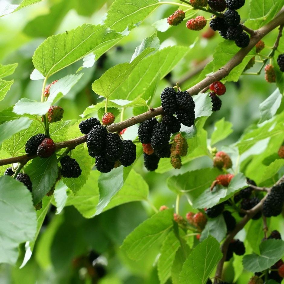 6a80215b35 Buy black mulberry Morus nigra