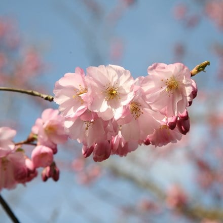 Prunus Accolade