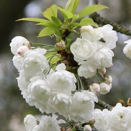 Prunus avium Plena