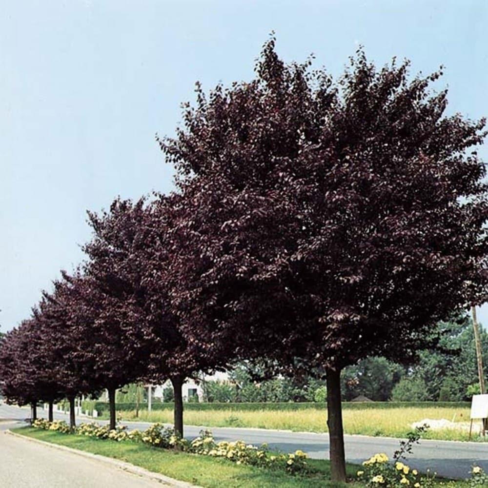 buy black leaved plum prunus cerasifera nigra. Black Bedroom Furniture Sets. Home Design Ideas