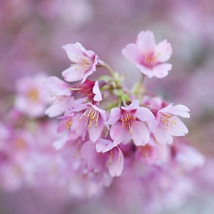 Prunus × incam Okame