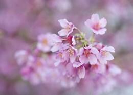 ornamental cherry - Prunnus Okame