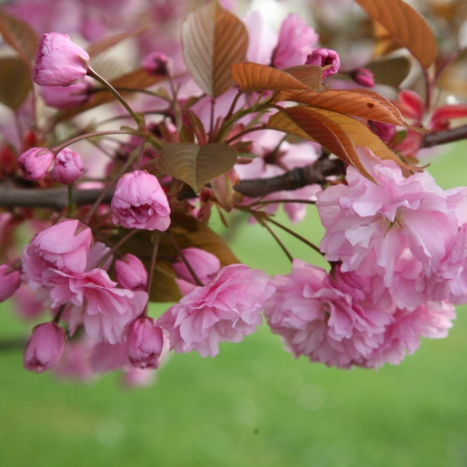 Buy Japanese Flowering Cherry Prunus Kanzan 6999 Delivery By Crocus