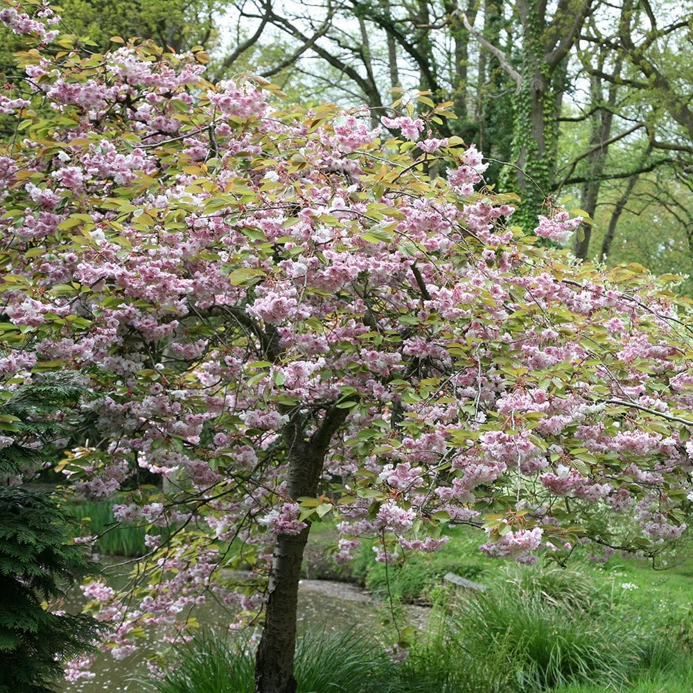 Buy cheal 39 s weeping cherry prunus kiku shidare zakura 79 for Weeping trees for small gardens