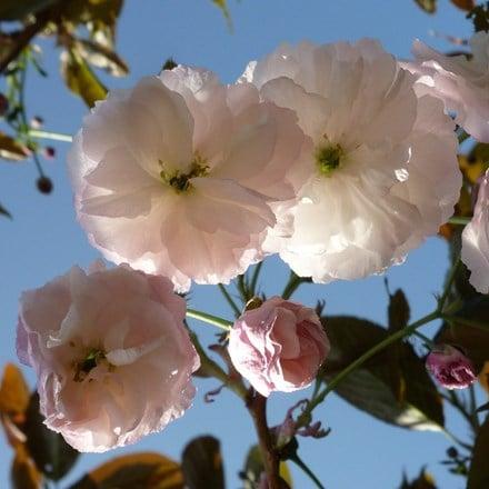 Prunus Fugenzo