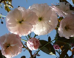 Japanese flowering cherry (syn Prunus Shirofugen)