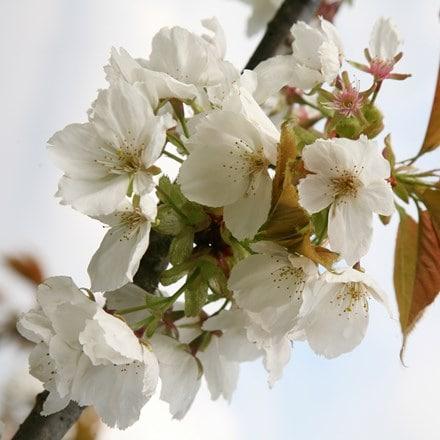 Prunus Tai-haku