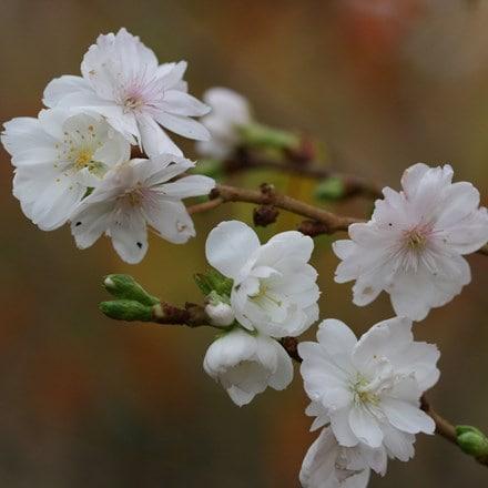 Prunus × subhirtella Autumnalis