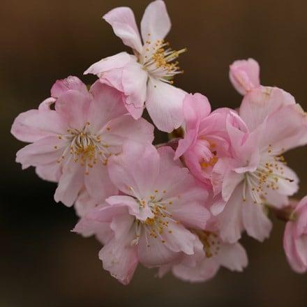 Prunus × subhirtella Autumnalis Rosea