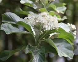 whitebeam