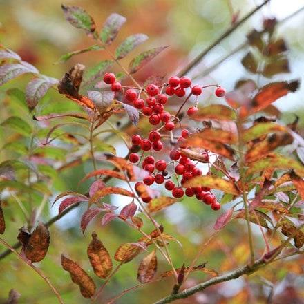 Sorbus commixta Embley