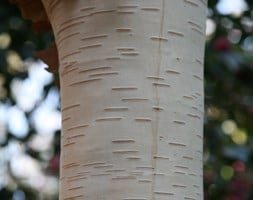 Betula utilis var. jacquemontii Grayswood Ghost